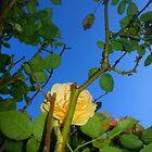 shy yellow rose 09/02/18 by Shellaqua