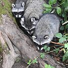 Three little raccoons all in a row by RichImage