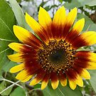 more sunflowers by Nancy Rohrig