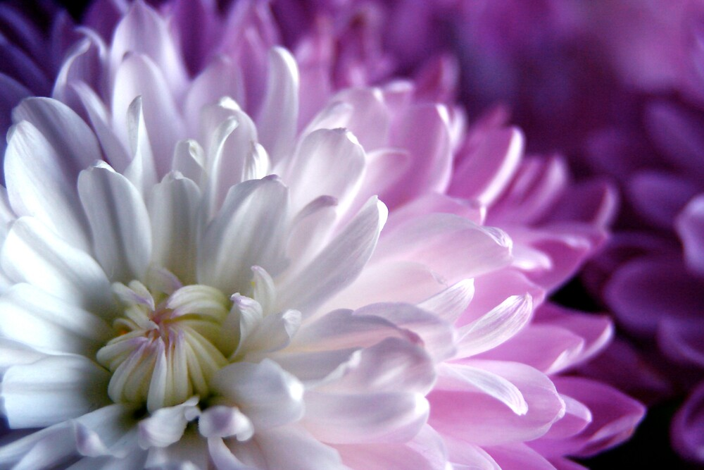 Chrysanthemum by Sachi