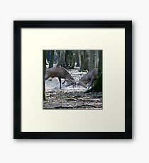 Red deers fighting Framed Print