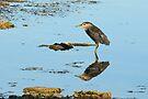 Black Crowned Night Heron by Lynda   McDonald