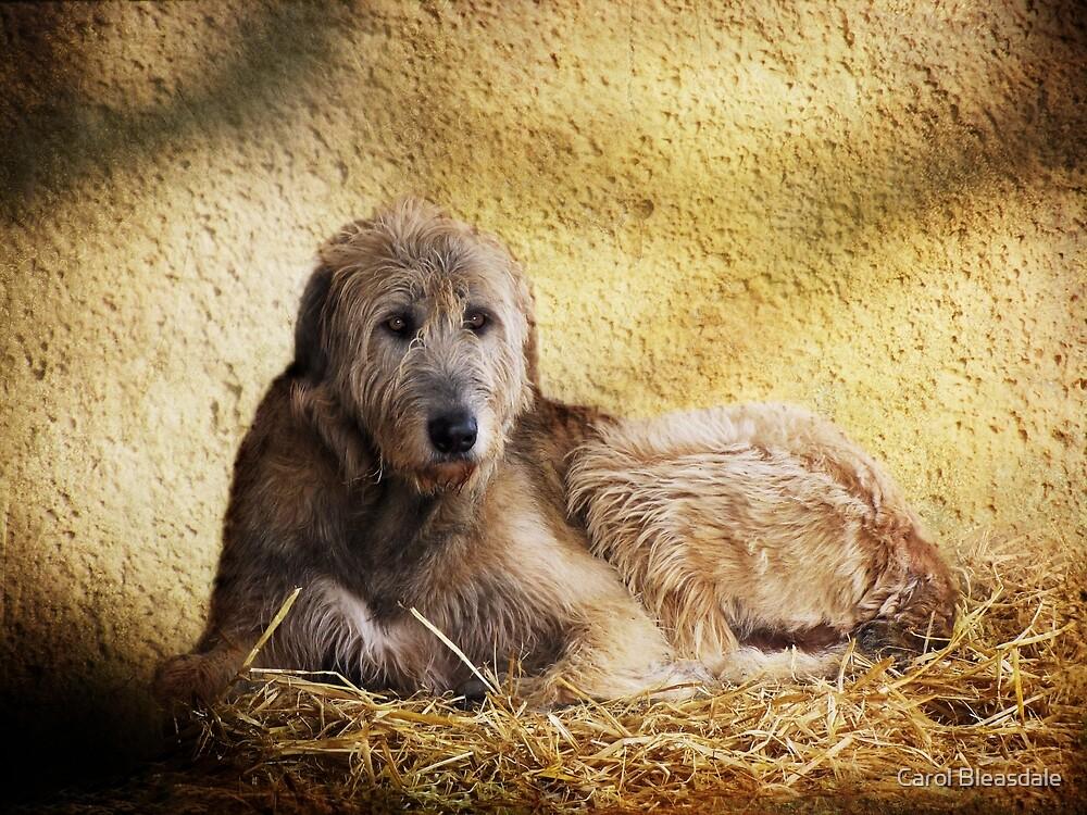 Irish Wolfhound by Carol Bleasdale
