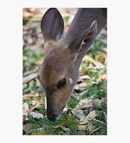 Female Bushbuck Close Up Photographic Print