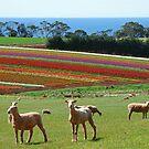 Tulip Heaven by ozecard