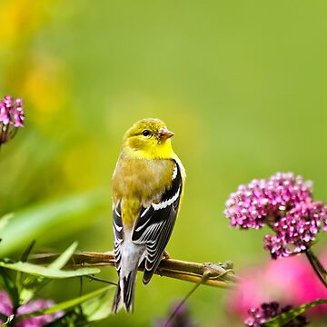 American Goldfinch and Flowers by rollosphotos