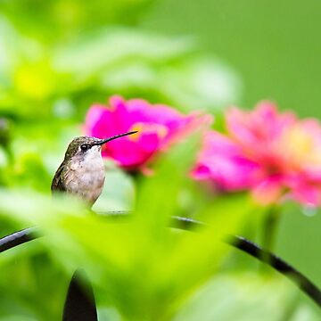 Garden Jewel Hummingbird by rollosphotos