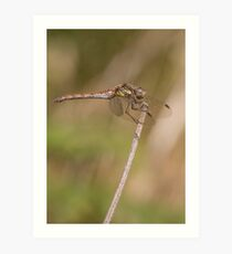 Common female darter Art Print