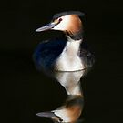 Great Crested Grebe by Richard Garvey-Williams
