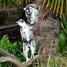 Ring-Tailed_Lemur by Keith Richardson