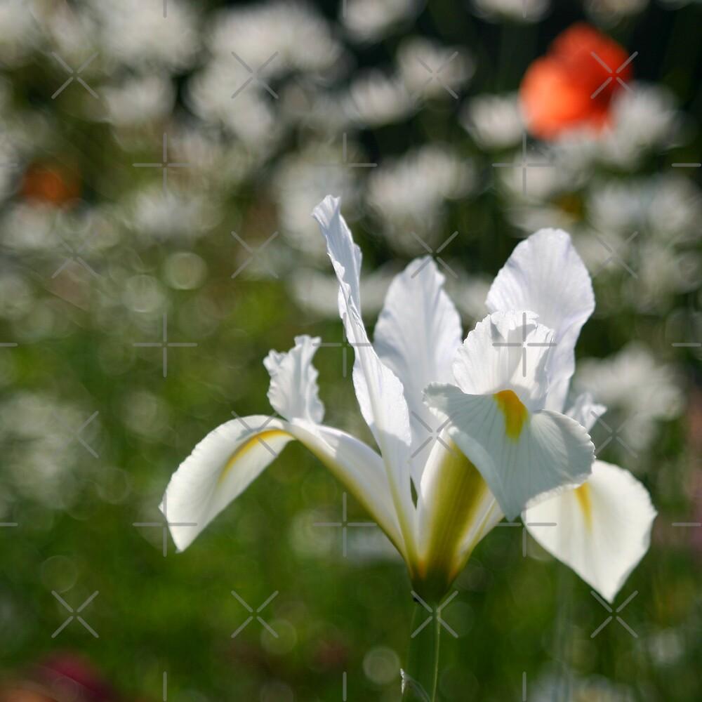 White iris by Sandra O'Connor