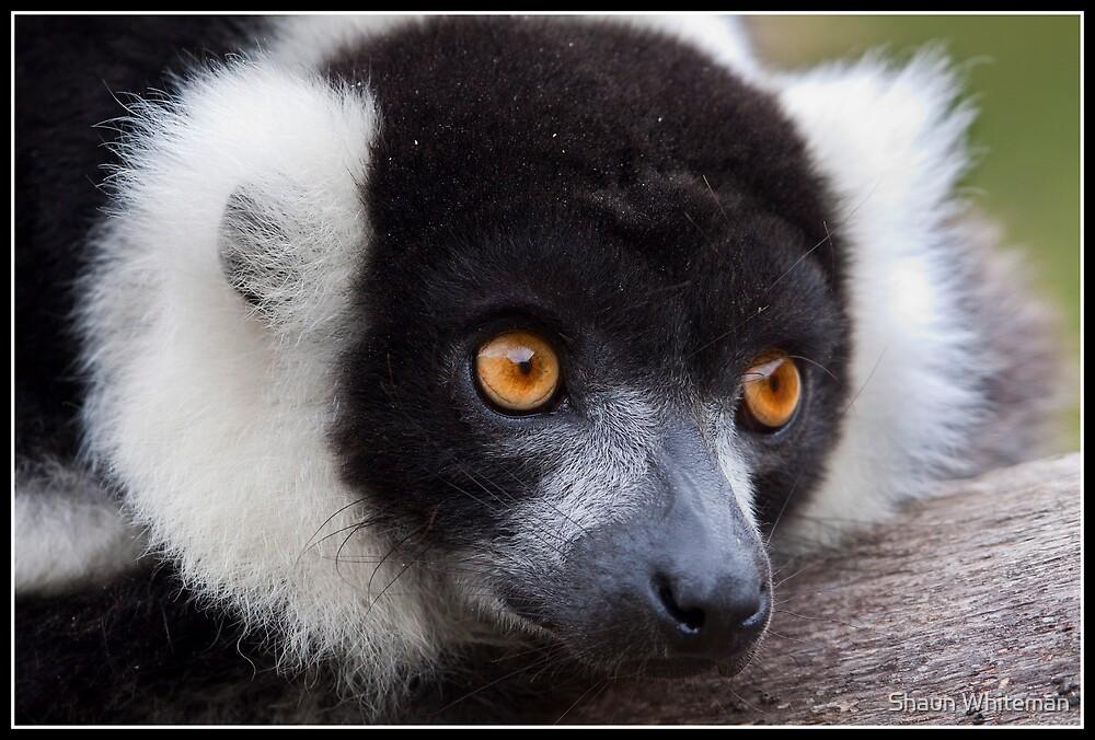 Black and white ruffed Lemur by Shaun Whiteman