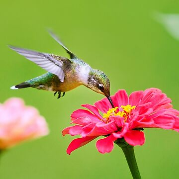 Tropical Hummingbird by rollosphotos