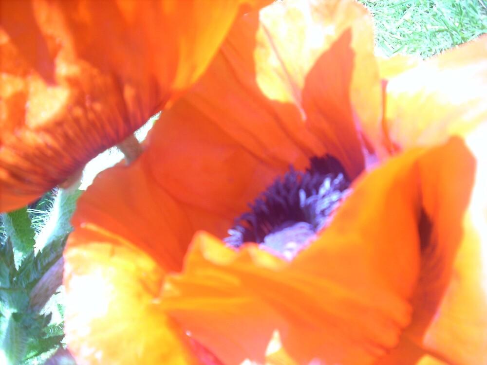 Devon poppy by Sam Barnett