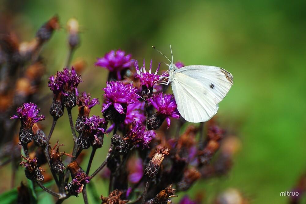 White Butterfly on Purple Flower by mltrue