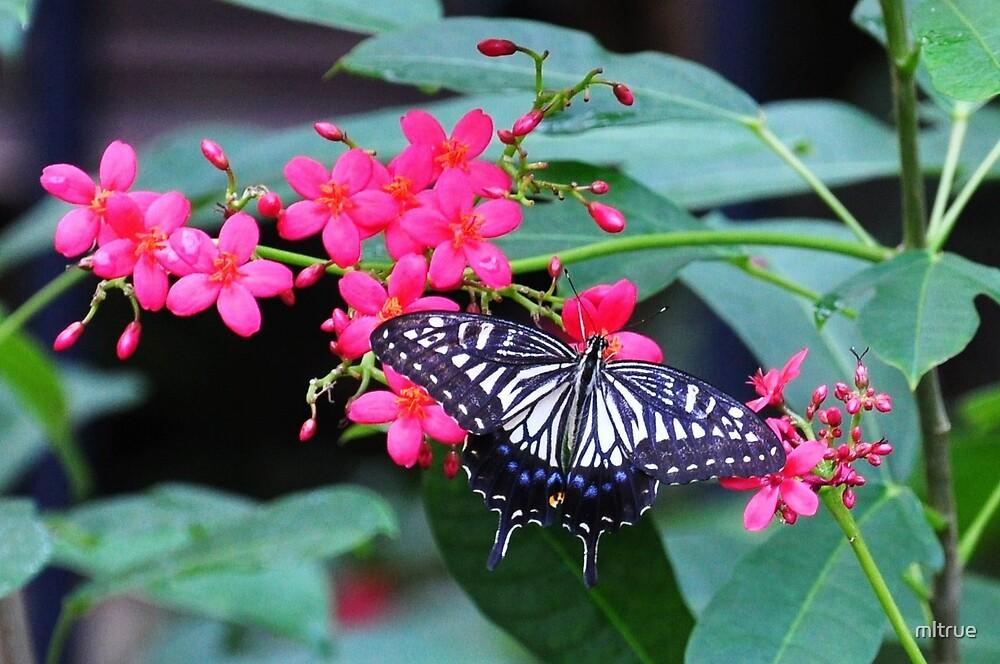 Beautiful Butterfly by mltrue