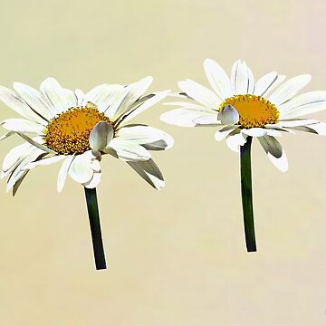 Two White Daisies Waving by SudaP0408