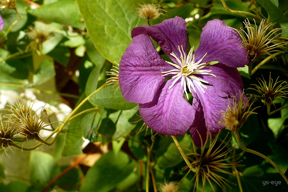 Purple Clematis  by ys-eye