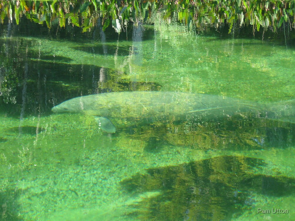 Manatee  by Pam Utton