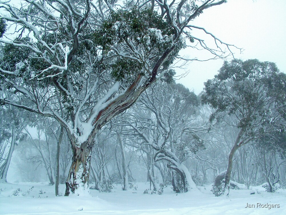 Snow Gums in a Snow Storm by Janette Rodgers