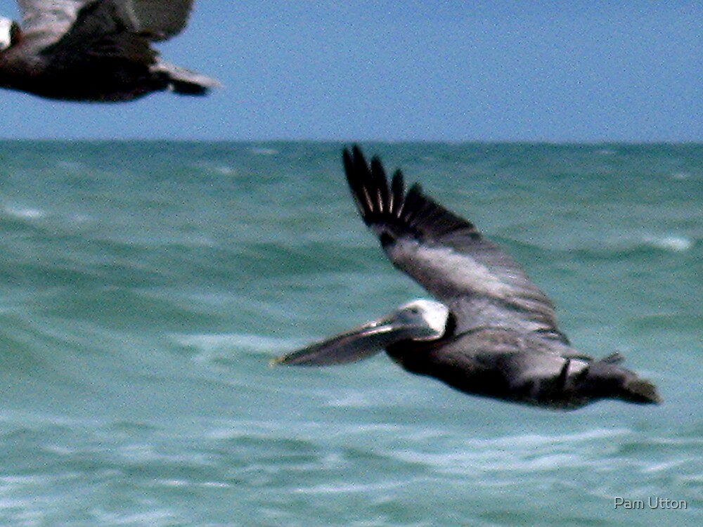 Pelican by Pam Utton