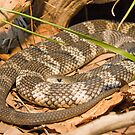 Eastern Tiger Snake, Queensland, Australia by Adrian Paul