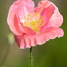 Shirley Poppy 2018-18 by Thomas Young
