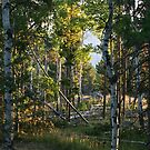 Sunup in the Aspens by Ken McElroy