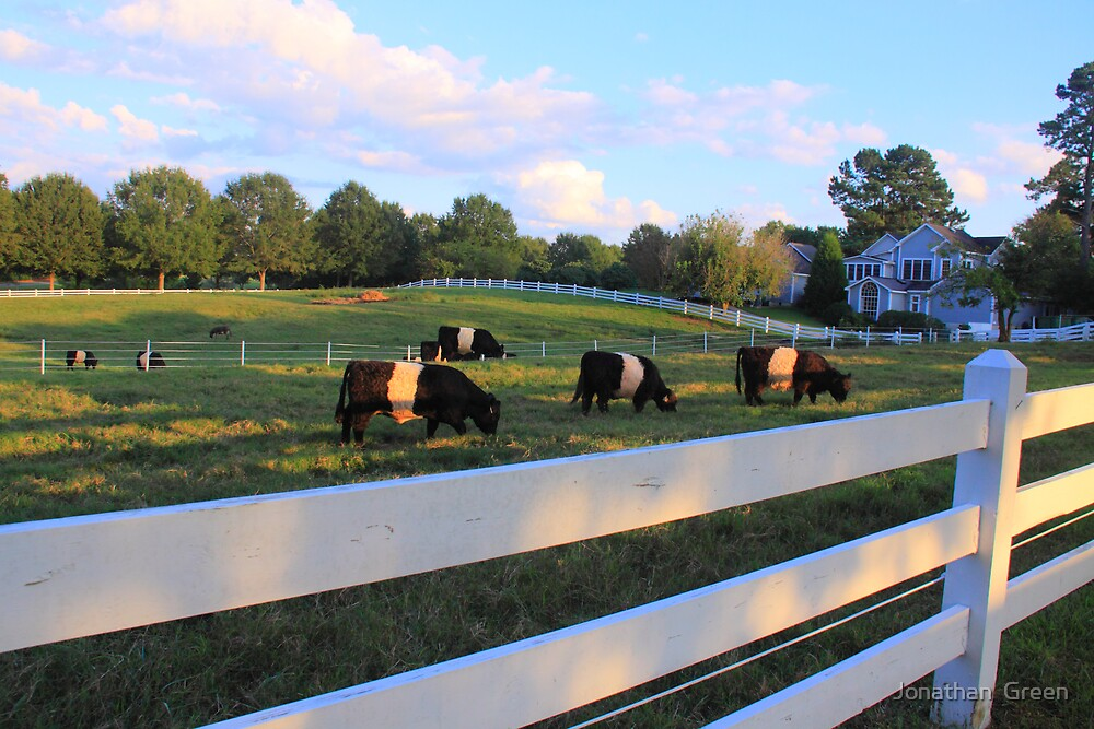 Cows Grazing In Grass by Jonathan  Green