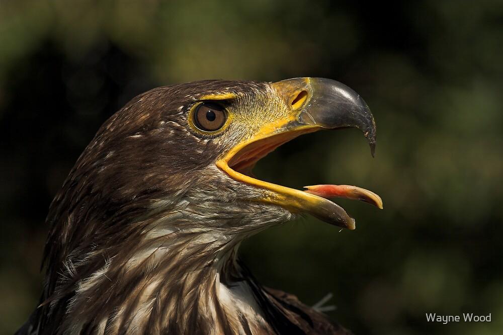 Bald Eagle by Wayne Wood