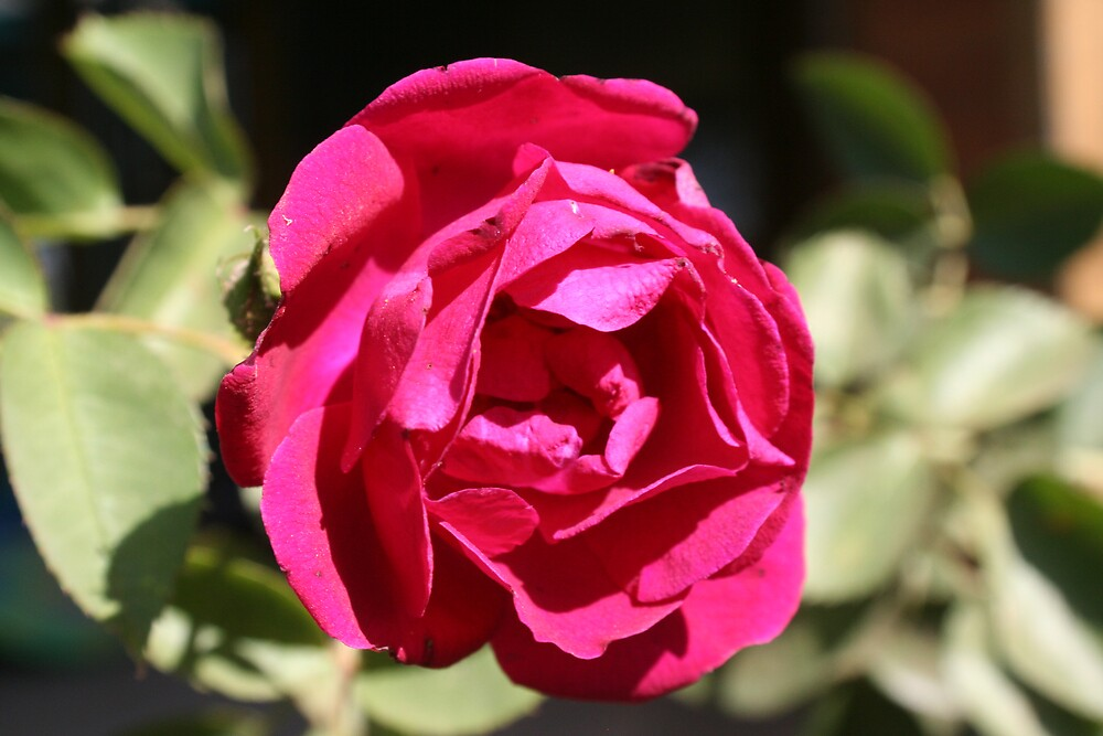 lovely red rose by columboola