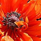 Poppy Frills by Linda Bianic