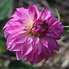 Dahlia Time by Monnie Ryan