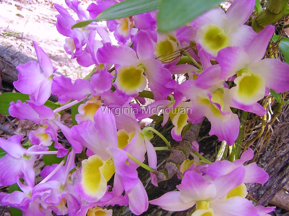 Picture Perfect Orchids  by Virginia McGowan
