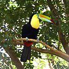Keel-billed Toucan by Carole-Anne