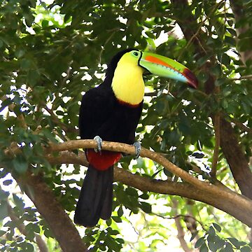 Keel-billed Toucan by Carole-Anne