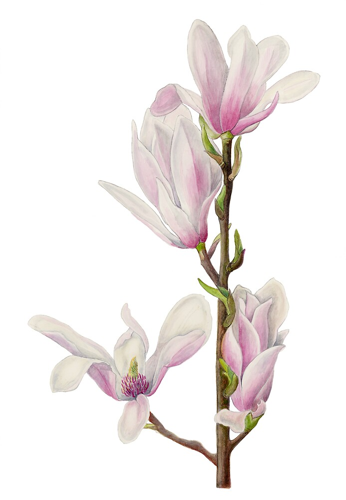 Early Blossom - Magnolia by Maureen Sparling