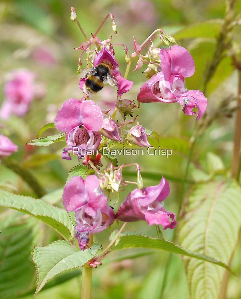 A Bee and Himalayan Balsam by Ryan Davison Crisp
