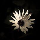 Daisy  by Christine Wilson