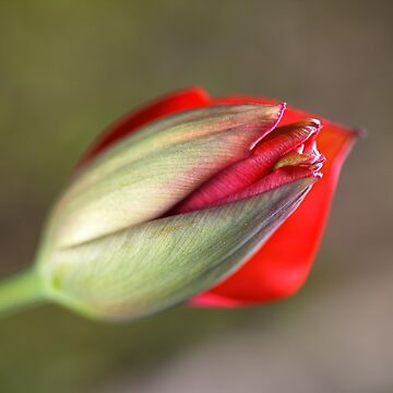 Romance The Red Tulip Bud by bubbleblue