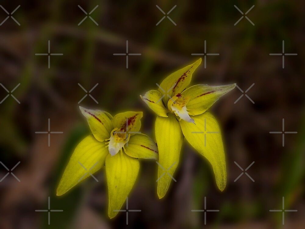 A Pair of Cowslips (Caladenia flava) by Elaine Teague