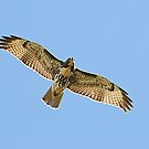 RedTail Looking at Me by Lynda   McDonald