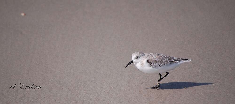 Sanderling - Calidris Alba by rd Erickson