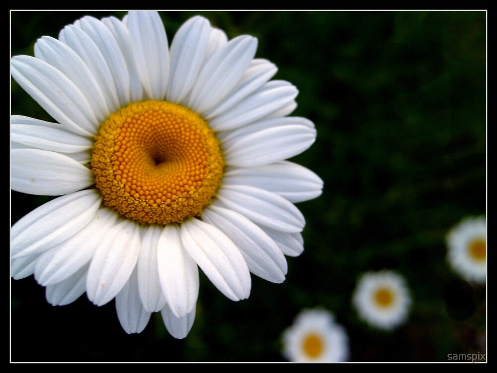 Daisy Chain by samspix