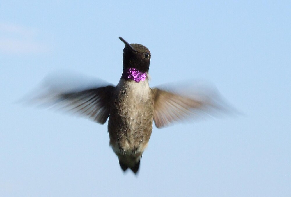 The flasher. Purple throated hummingbird by photoop