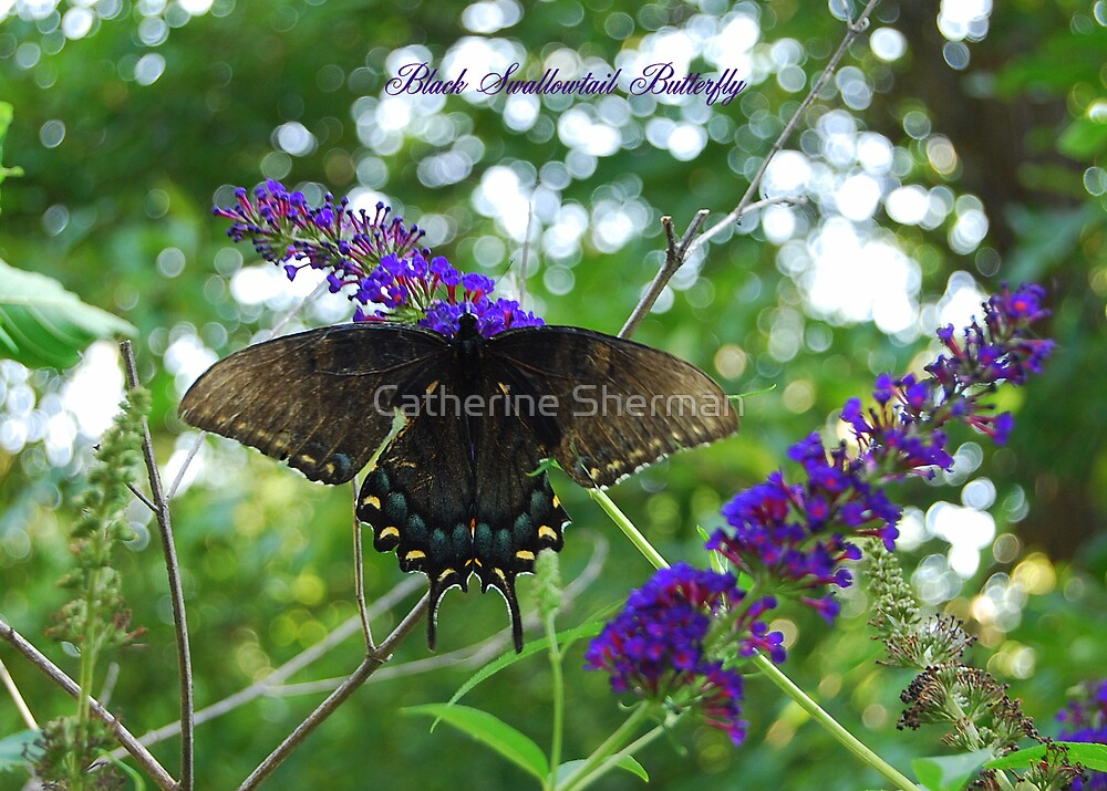 Black Swallowtail Butterfly on a Butterfly Bush by Catherine Sherman