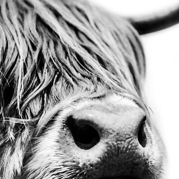 Highland Cow close up in black and white by AlfSharp