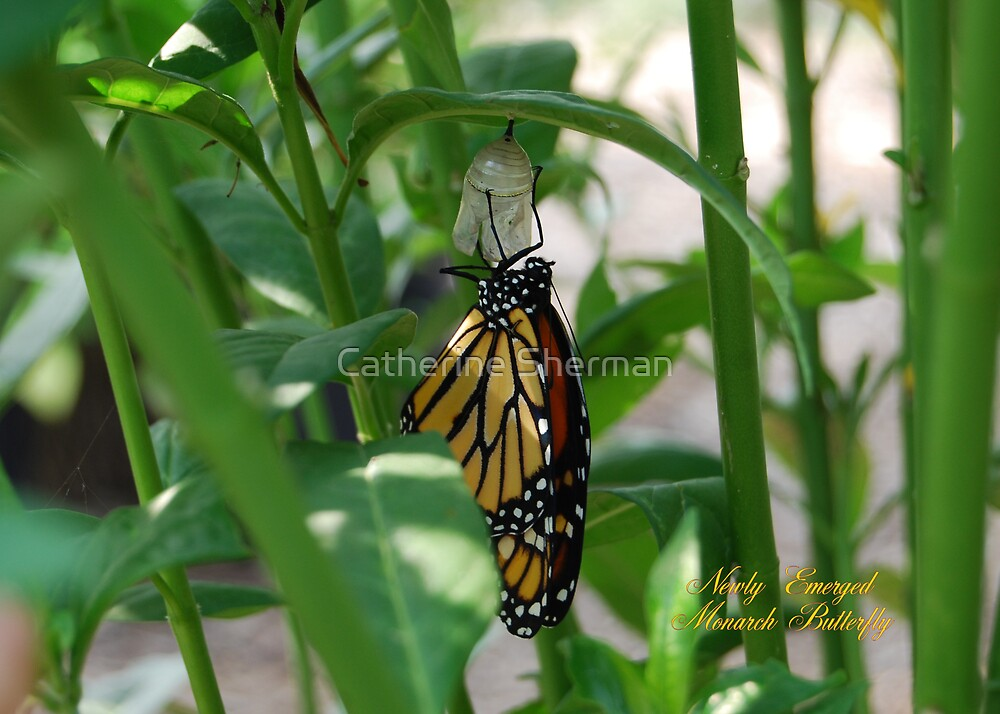 Monarch Butterfly Newly Emerged From Chrysalis by Catherine Sherman