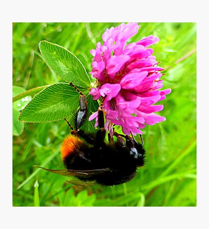 Bumblebee on red clover Photographic Print