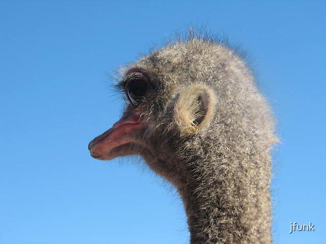 Regal Ostrich  by jfunk